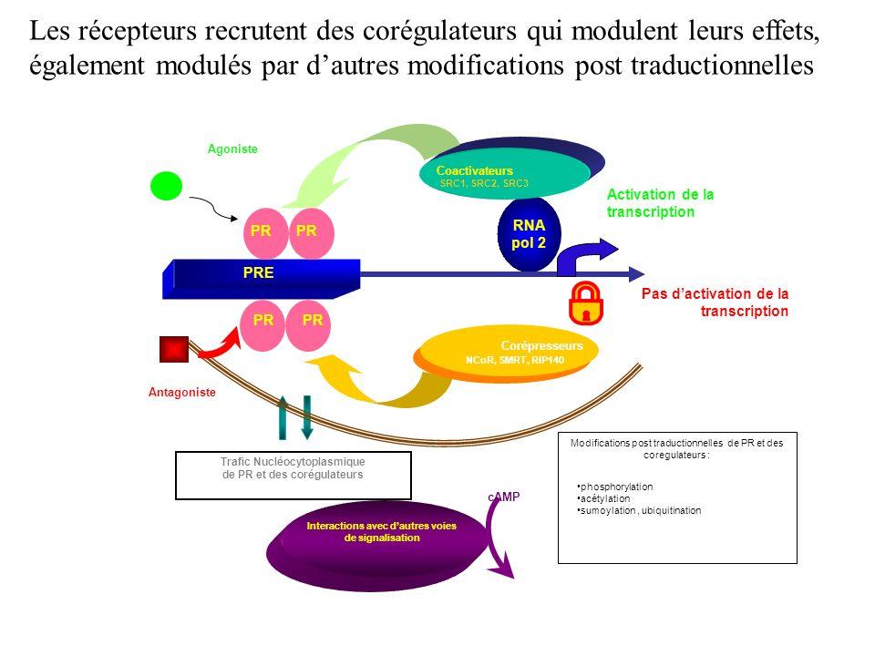 Interactions avec dautres voies de signalisation cAMP Trafic Nucléocytoplasmique de PR et des corégulateurs Modifications post traductionnelles de PR et des coregulateurs : phosphorylation acétylation sumoylation, ubiquitination PRE Activation de la transcription Agoniste Coactivateurs PR RNA pol 2 SRC1, SRC2, SRC3 Pas dactivation de la transcription Corépresseurs Antagoniste PR NCoR, SMRT, RIP140 Les récepteurs recrutent des corégulateurs qui modulent leurs effets, également modulés par dautres modifications post traductionnelles