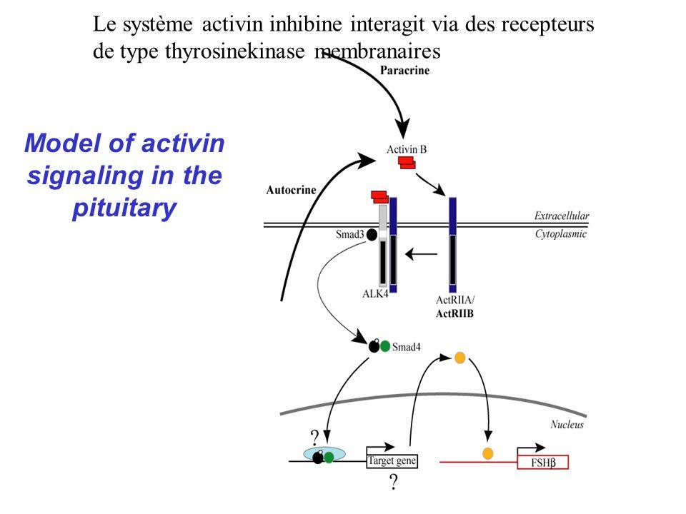 Model of activin signaling in the pituitary Le système activin inhibine interagit via des recepteurs de type thyrosinekinase membranaires