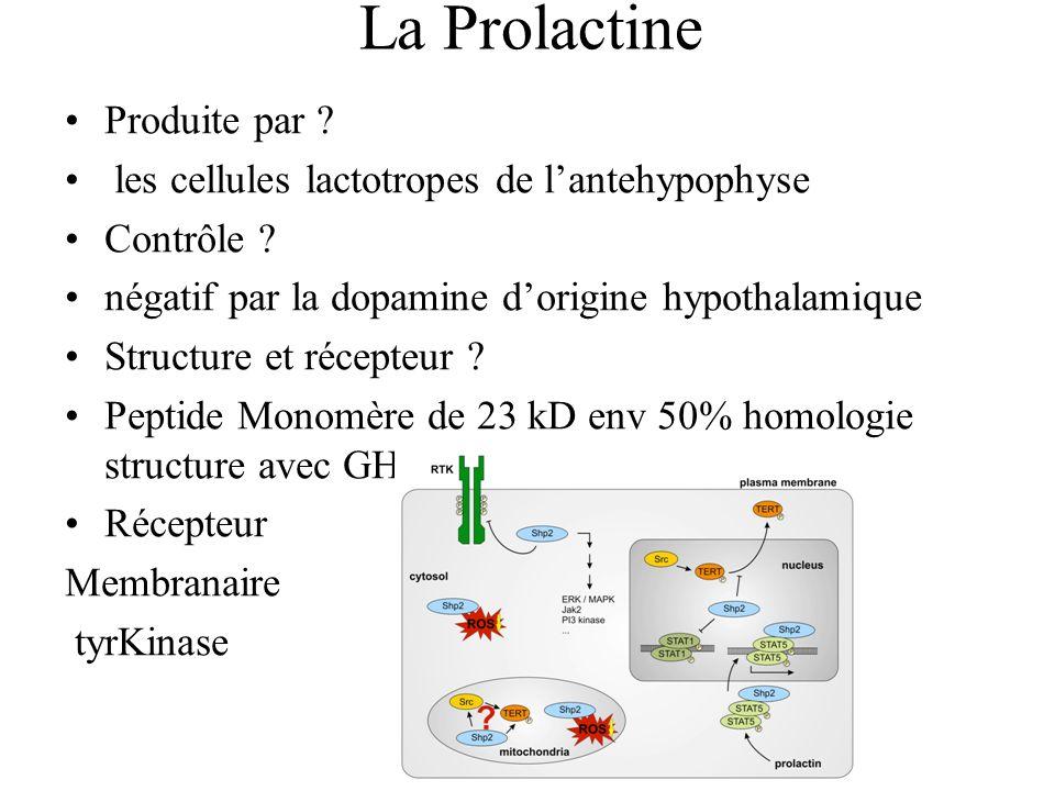 La Prolactine Produite par .les cellules lactotropes de lantehypophyse Contrôle .