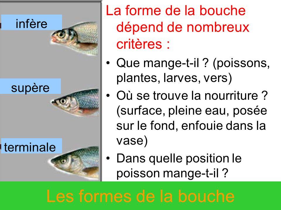 Les formes de la bouche La forme de la bouche dépend de nombreux critères : Que mange-t-il ? (poissons, plantes, larves, vers) Où se trouve la nourrit