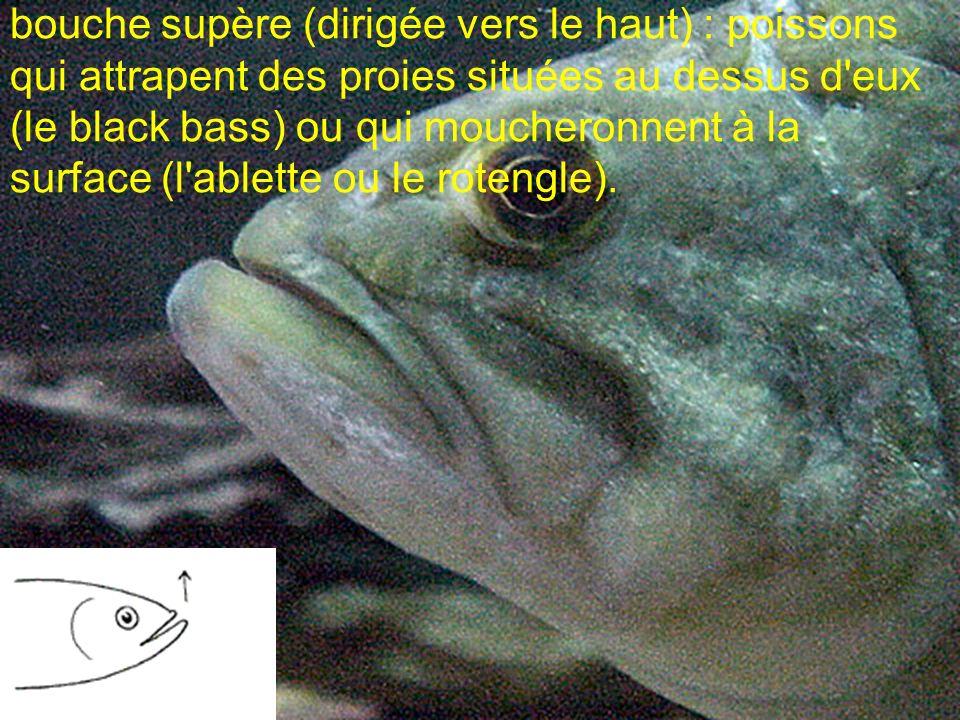 bouche supère (dirigée vers le haut) : poissons qui attrapent des proies situées au dessus d'eux (le black bass) ou qui moucheronnent à la surface (l'