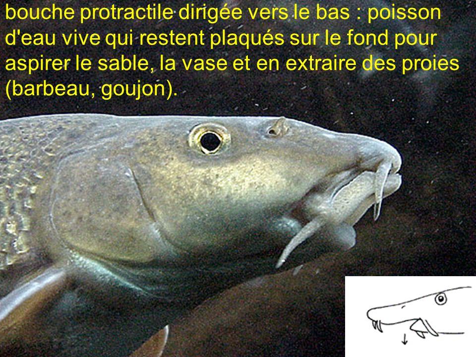 bouche protractile dirigée vers le bas : poisson d'eau vive qui restent plaqués sur le fond pour aspirer le sable, la vase et en extraire des proies (