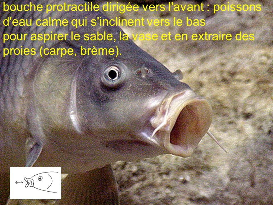 bouche protractile dirigée vers l'avant : poissons d'eau calme qui s'inclinent vers le bas pour aspirer le sable, la vase et en extraire des proies (c
