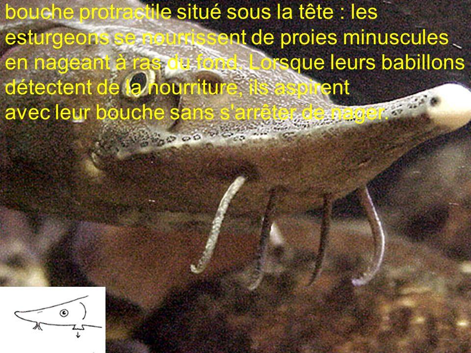 bouche protractile situé sous la tête : les esturgeons se nourrissent de proies minuscules en nageant à ras du fond. Lorsque leurs babillons détectent