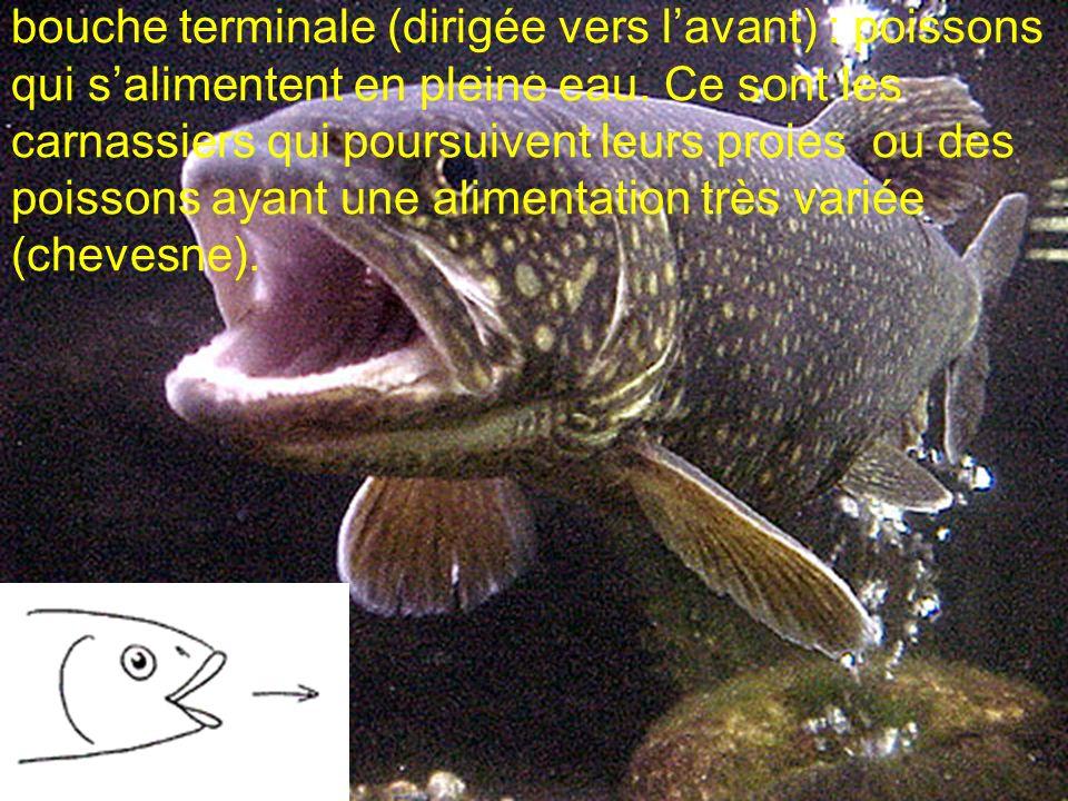 bouche terminale (dirigée vers lavant) : poissons qui salimentent en pleine eau. Ce sont les carnassiers qui poursuivent leurs proies ou des poissons
