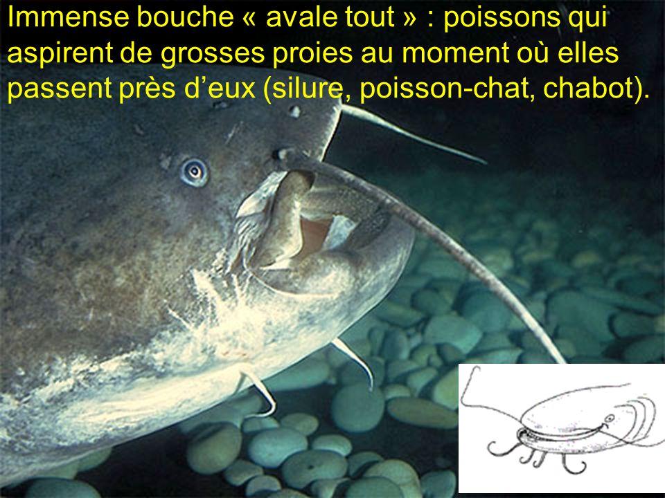 Immense bouche « avale tout » : poissons qui aspirent de grosses proies au moment où elles passent près deux (silure, poisson-chat, chabot).