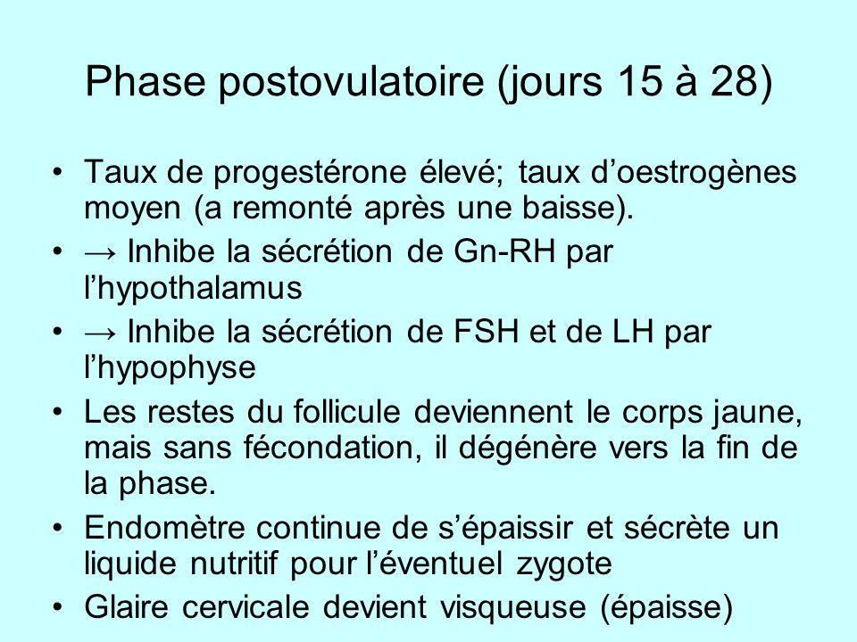 Phase postovulatoire (jours 15 à 28) Taux de progestérone élevé; taux doestrogènes moyen (a remonté après une baisse). Inhibe la sécrétion de Gn-RH pa