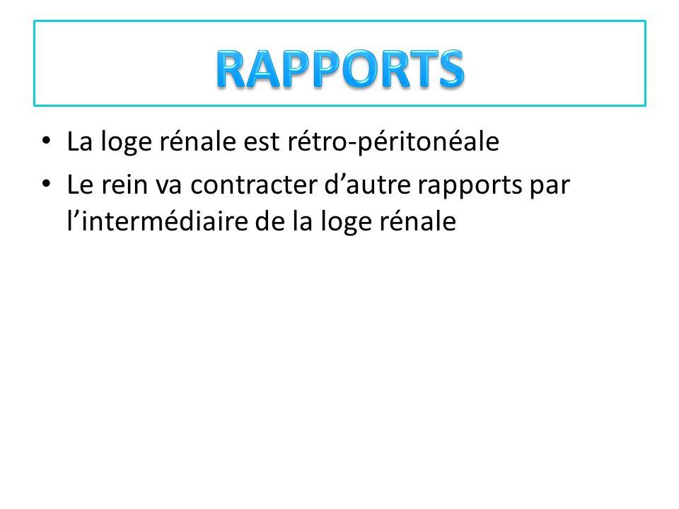 La loge rénale est rétro-péritonéale Le rein va contracter dautre rapports par lintermédiaire de la loge rénale
