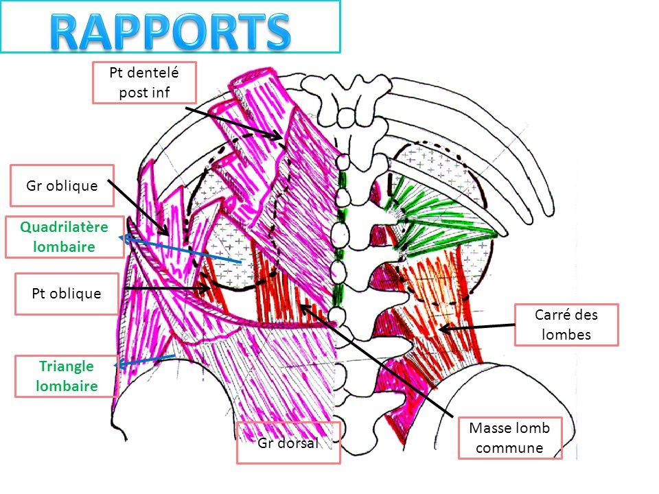 Carré des lombes Pt dentelé post inf Gr oblique Masse lomb commune Pt oblique Gr dorsal Quadrilatère lombaire Triangle lombaire