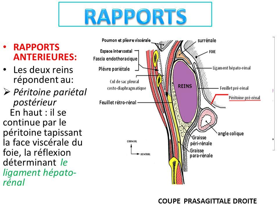 RAPPORTS ANTERIEURES: Les deux reins répondent au: Péritoine pariétal postérieur En haut : il se continue par le péritoine tapissant la face viscérale