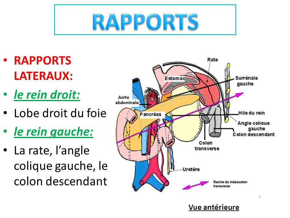 RAPPORTS LATERAUX: le rein droit: Lobe droit du foie le rein gauche: La rate, langle colique gauche, le colon descendant Vue antérieure