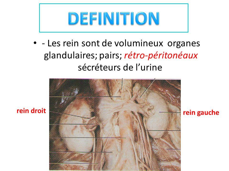 - Les rein sont de volumineux organes glandulaires; pairs; rétro-péritonéaux sécréteurs de lurine rein gauche rein droit