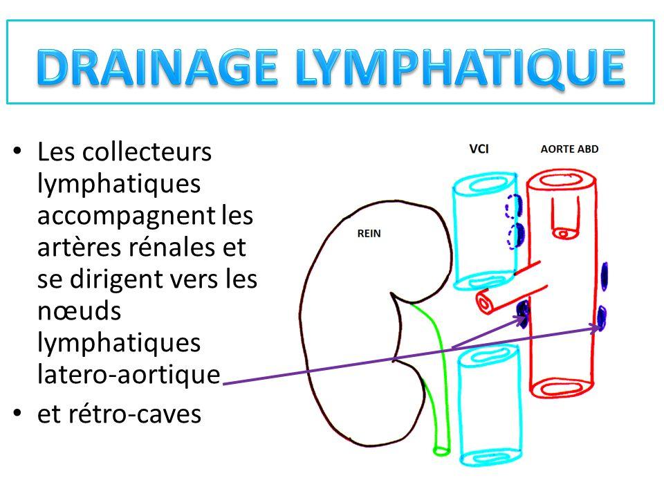 Les collecteurs lymphatiques accompagnent les artères rénales et se dirigent vers les nœuds lymphatiques latero-aortique et rétro-caves