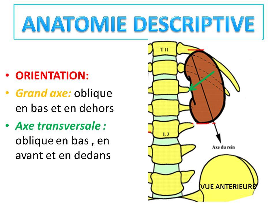 CONFIGURATION EXTERNE: Aplatis davant en arrière, ont la forme dun haricot ; Présente : - 02 faces : convexes antérieure et postérieure - 02 bords : bord latéral convexe bord médial concave : échancré a sa partie moyenne par le hile Orifice dentrée du sinus rénal Fente longitudinale denviron 4cm de longueur et 1,5 cm dépaisseur -02 extrémités (pôles) : pôle supérieur coiffé par la glande surrénale pôle inférieur