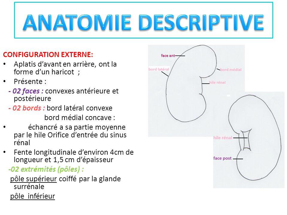 CONFIGURATION EXTERNE: Aplatis davant en arrière, ont la forme dun haricot ; Présente : - 02 faces : convexes antérieure et postérieure - 02 bords : b
