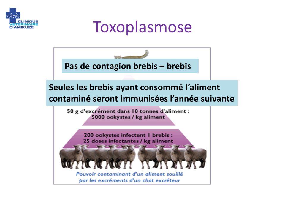 Pas de contagion brebis – brebis Seules les brebis ayant consommé laliment contaminé seront immunisées lannée suivante Toxoplasmose
