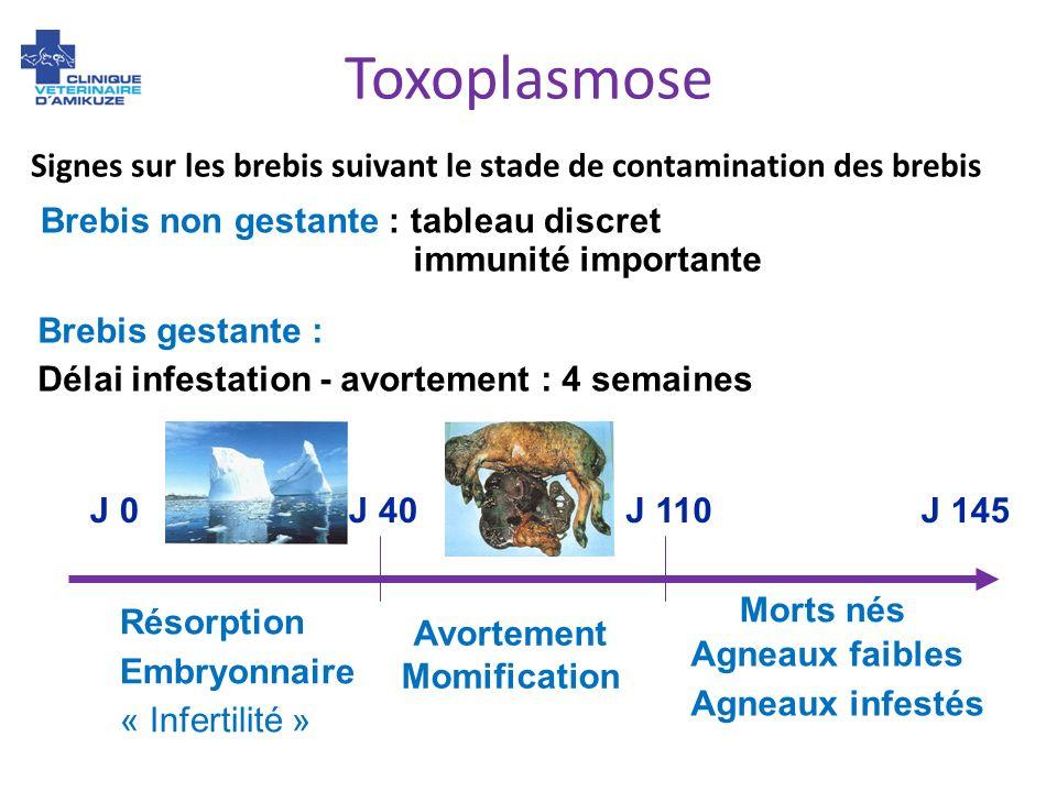 Brebis non gestante : tableau discret immunité importante J 0J 110J 145J 40 Résorption Embryonnaire « Infertilité » Avortement Momification Morts nés