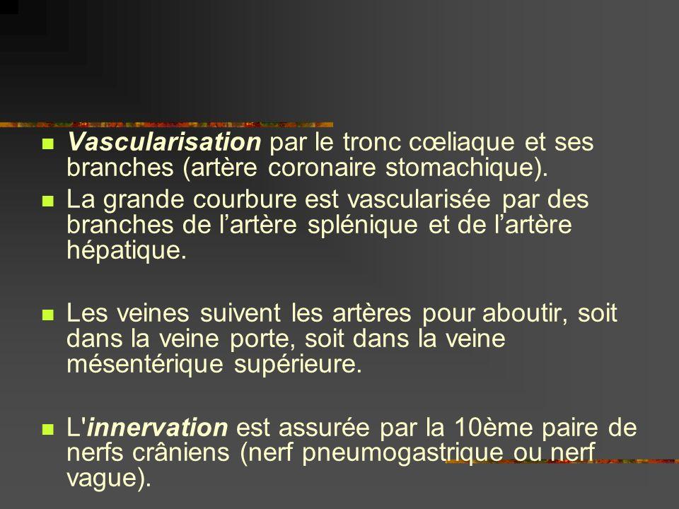 Vascularisation par le tronc cœliaque et ses branches (artère coronaire stomachique). La grande courbure est vascularisée par des branches de lartère