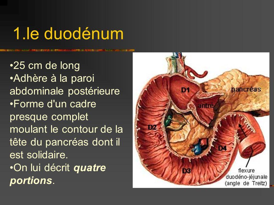 1.le duodénum 25 cm de long Adhère à la paroi abdominale postérieure Forme d'un cadre presque complet moulant le contour de la tête du pancréas dont i