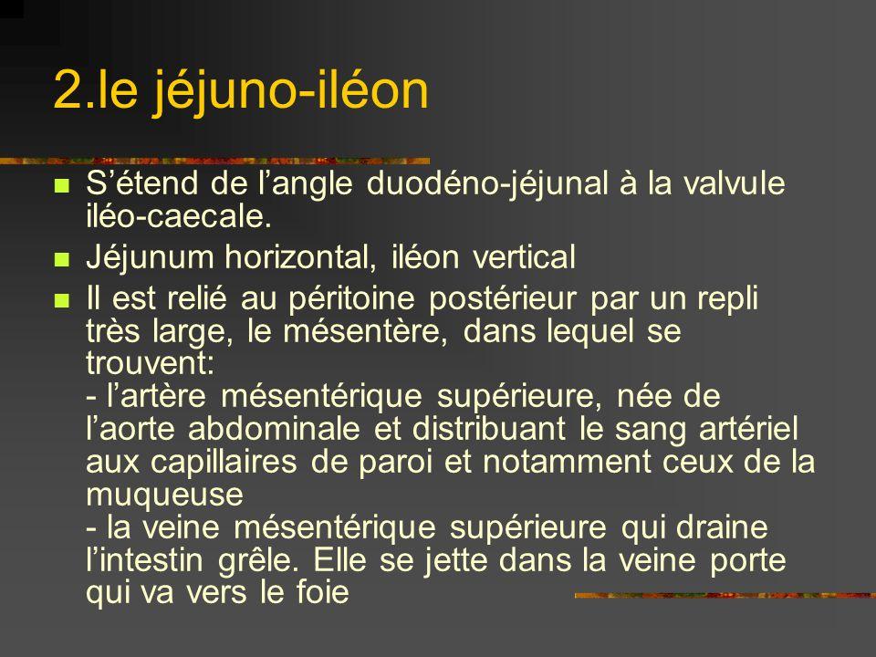 2.le jéjuno-iléon Sétend de langle duodéno-jéjunal à la valvule iléo-caecale. Jéjunum horizontal, iléon vertical Il est relié au péritoine postérieur