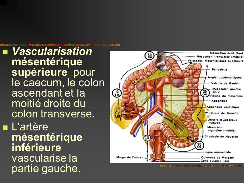 Vascularisation mésentérique supérieure pour le caecum, le colon ascendant et la moitié droite du colon transverse. L'artère mésentérique inférieure v
