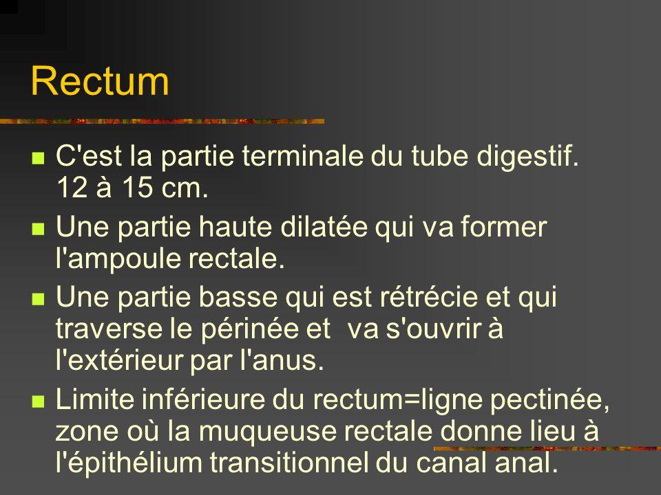 Rectum C'est la partie terminale du tube digestif. 12 à 15 cm. Une partie haute dilatée qui va former l'ampoule rectale. Une partie basse qui est rétr