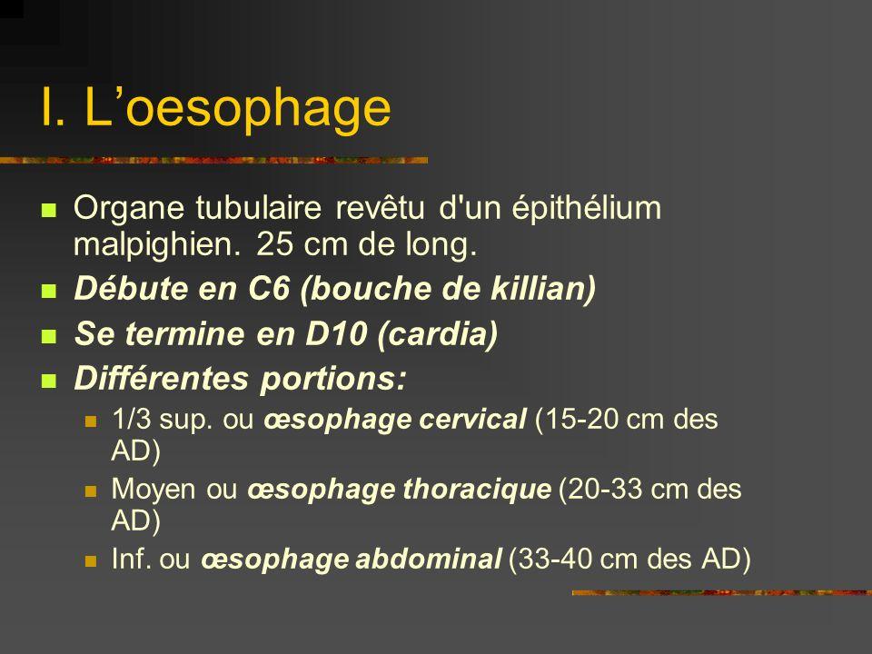 I. Loesophage Organe tubulaire revêtu d'un épithélium malpighien. 25 cm de long. Débute en C6 (bouche de killian) Se termine en D10 (cardia) Différent
