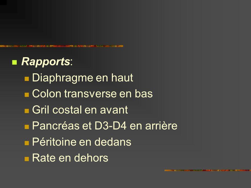 Rapports: Diaphragme en haut Colon transverse en bas Gril costal en avant Pancréas et D3-D4 en arrière Péritoine en dedans Rate en dehors
