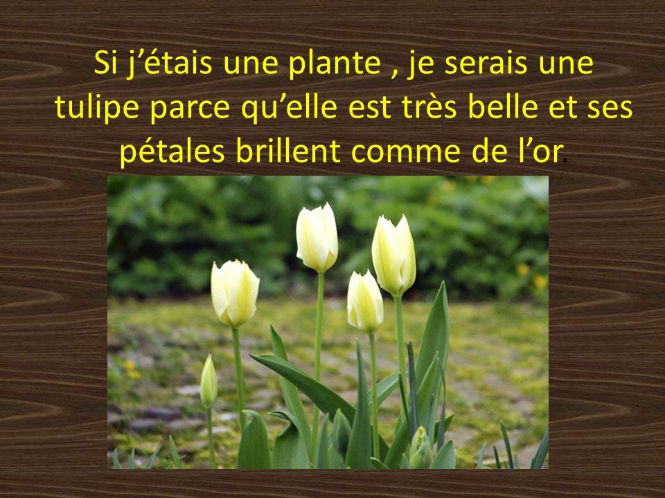 Si jétais une plante, je serais une tulipe parce quelle est très belle et ses pétales brillent comme de lor.