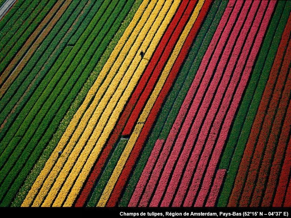 Champs de tulipes, Région de Amsterdam, Pays-Bas (52°15 N – 04°37 E)