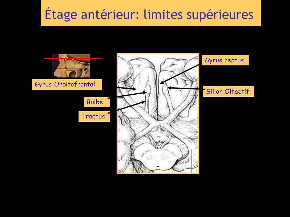 Gyrus rectus Gyrus Orbitofrontal Bulbe Tractus Sillon Olfactif Étage antérieur: limites supérieures