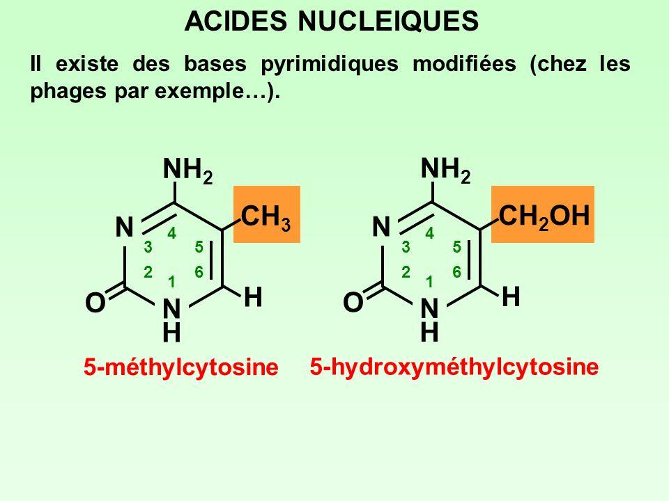 ACIDES NUCLEIQUES Il existe des bases pyrimidiques modifiées (chez les phages par exemple…). N NHNH 1 2 3 4 5 6 NH 2 O CH 3 H 5-méthylcytosine N NHNH