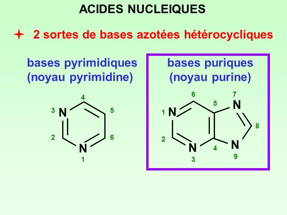 2 sortes de bases azotées hétérocycliques bases pyrimidiques (noyau pyrimidine) bases puriques (noyau purine) N N 1 2 3 4 5 6 N N N N 1 2 3 4 5 67 8 9
