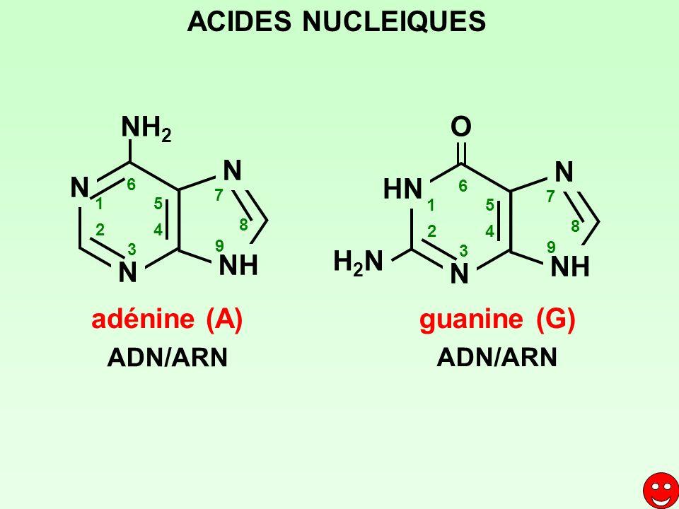 adénine (A) NH 2 N N N NH 1 2 3 4 5 6 7 8 9 ADN/ARN HN N N NH 1 2 3 4 5 6 7 8 9 H2NH2N O guanine (G) ADN/ARN