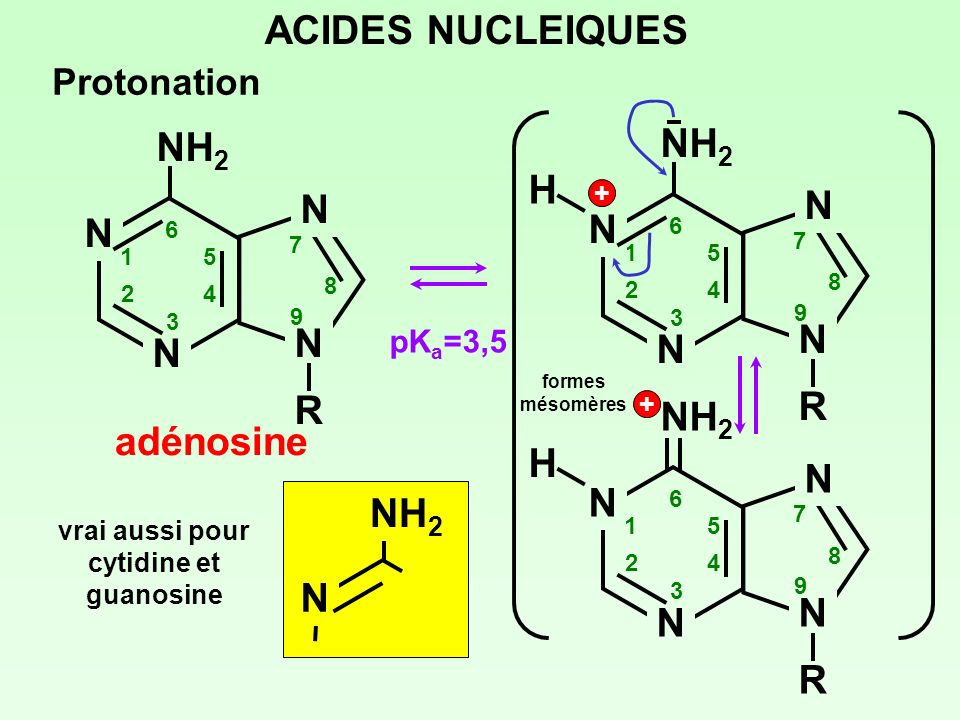 ACIDES NUCLEIQUES Protonation pK a =3,5 1 NH 2 N N N NRNR 2 3 4 5 6 7 8 9 H + N N N NRNR 1 2 3 4 5 6 7 8 9 H + formes mésomères vrai aussi pour cytidi
