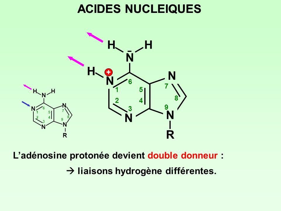 N N N N NRNR 1 2 3 4 5 6 7 8 9 H + HH Ladénosine protonée devient double donneur : liaisons hydrogène différentes. ACIDES NUCLEIQUES N 1 2 3 4 5 6 7 8