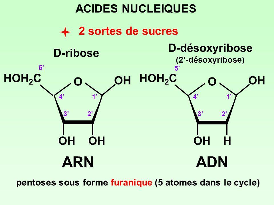 2 sortes de sucres ACIDES NUCLEIQUES pentoses sous forme furanique (5 atomes dans le cycle) D-ribose 1 23 4 5 D-désoxyribose (2-désoxyribose) O HOH 2
