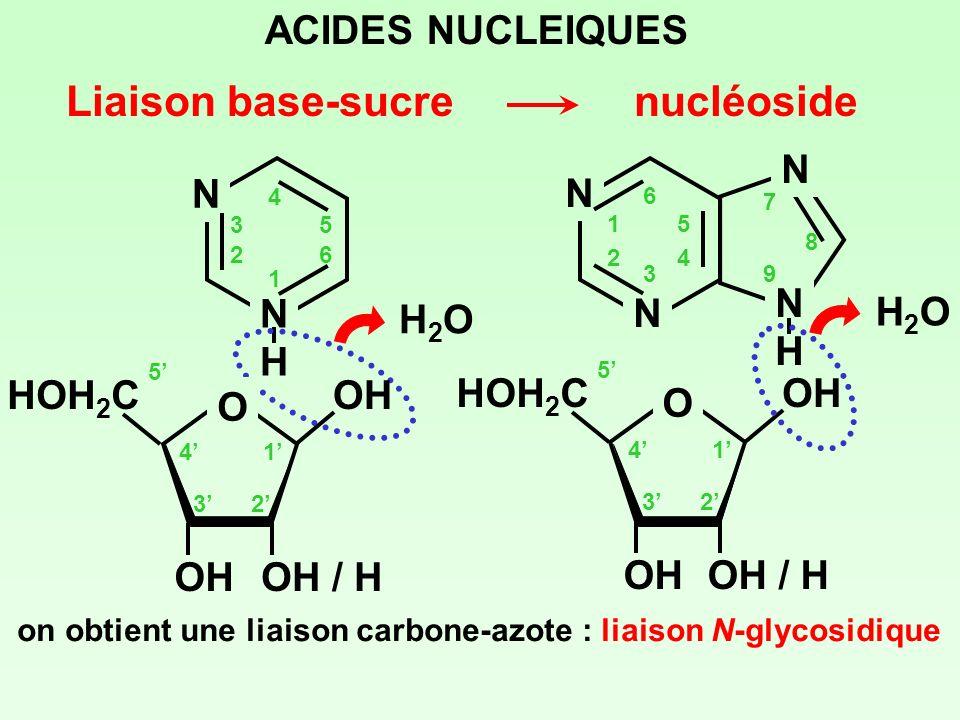 ACIDES NUCLEIQUES Liaison base-sucre on obtient une liaison carbone-azote : liaison N-glycosidique N NHNH 1 2 3 4 5 6 H2OH2O nucléoside 1 23 4 5 O HOH