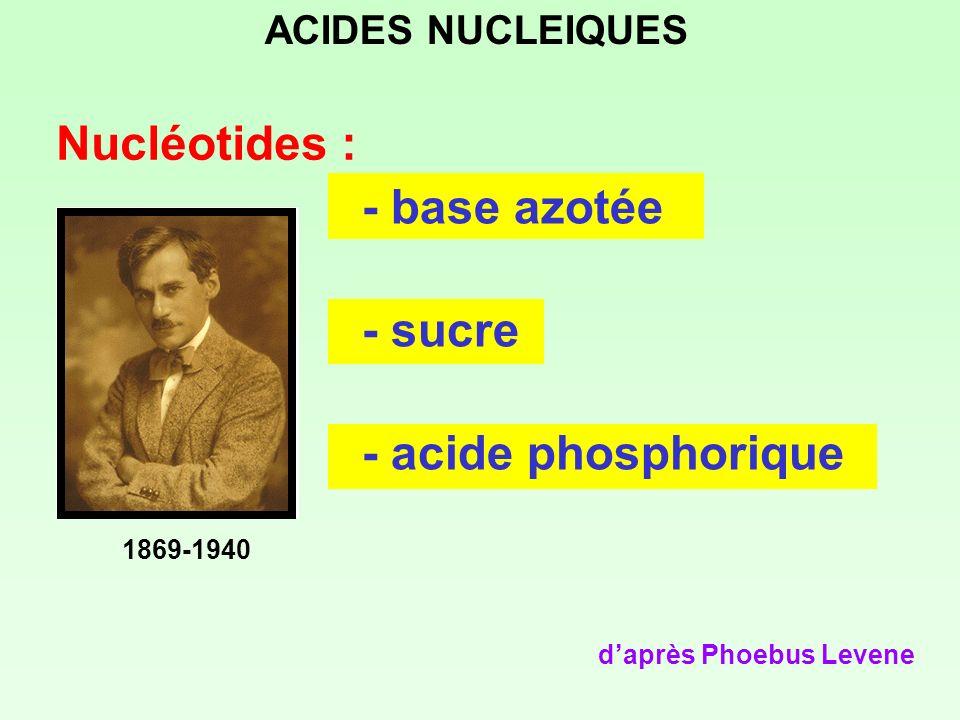 Nucléotides : - base azotée - sucre - acide phosphorique daprès Phoebus Levene ACIDES NUCLEIQUES 1869-1940