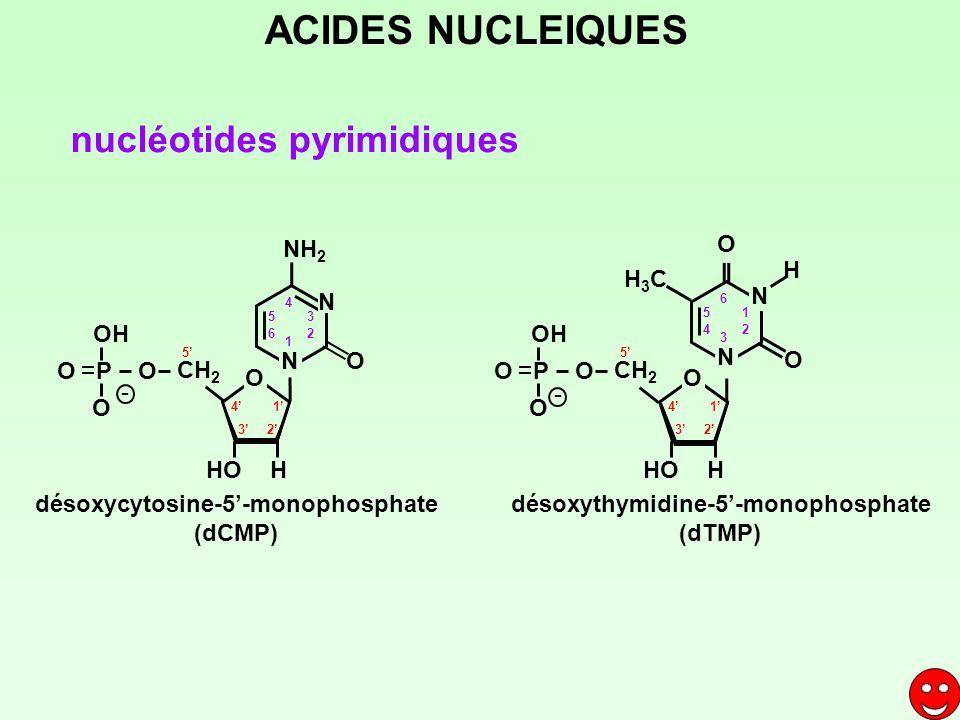 nucléotides pyrimidiques désoxycytosine-5-monophosphate (dCMP) désoxythymidine-5-monophosphate (dTMP) 1 23 4 5 CH 2 HOH O P O OH O 1 2 3 4 5 6 H3CH3C