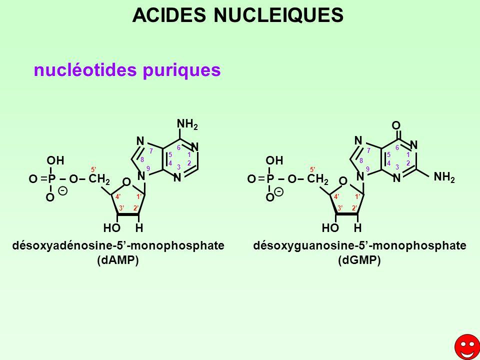 1 23 4 5 CH 2 HOH O P O OH O 1 2 3 4 5 6 7 8 9 NH 2 désoxyadénosine-5-monophosphate (dAMP) désoxyguanosine-5-monophosphate (dGMP) 1 23 4 5 CH 2 HOH O