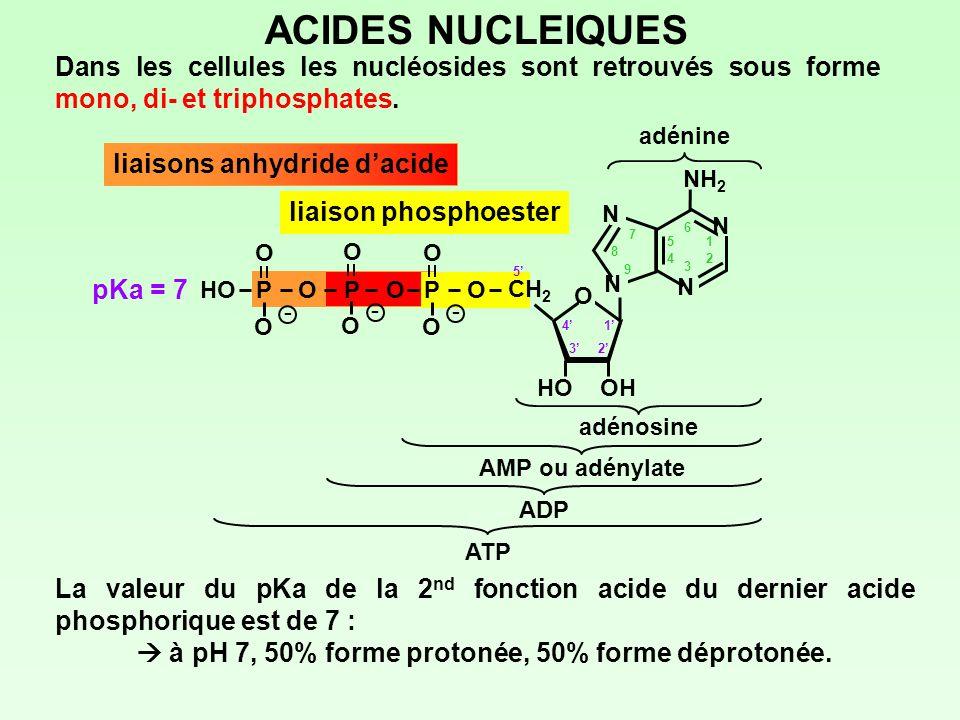 liaisons anhydride dacide ACIDES NUCLEIQUES Dans les cellules les nucléosides sont retrouvés sous forme mono, di- et triphosphates. adénine adénosine