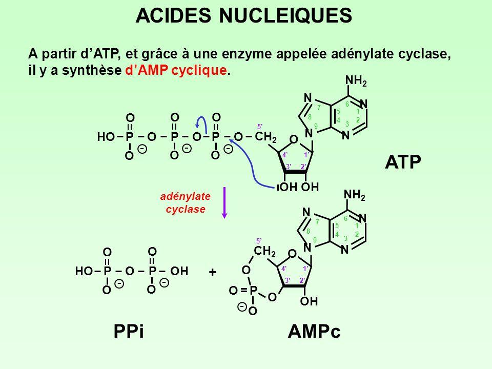 A partir dATP, et grâce à une enzyme appelée adénylate cyclase, il y a synthèse dAMP cyclique. ACIDES NUCLEIQUES adénylate cyclase ATP 1 23 4 5 CH 2 O