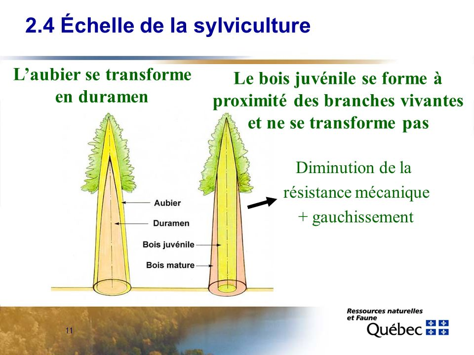11 Le bois juvénile se forme à proximité des branches vivantes et ne se transforme pas Diminution de la résistance mécanique + gauchissement Laubier se transforme en duramen 2.4 Échelle de la sylviculture