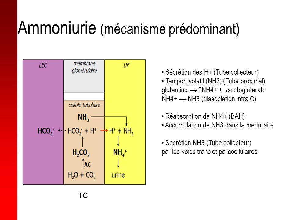 Ammoniurie (mécanisme prédominant) Sécrétion des H+ (Tube collecteur) Tampon volatil (NH3) (Tube proximal) glutamine 2NH4+ + cetoglutarate NH4+ NH3 (d