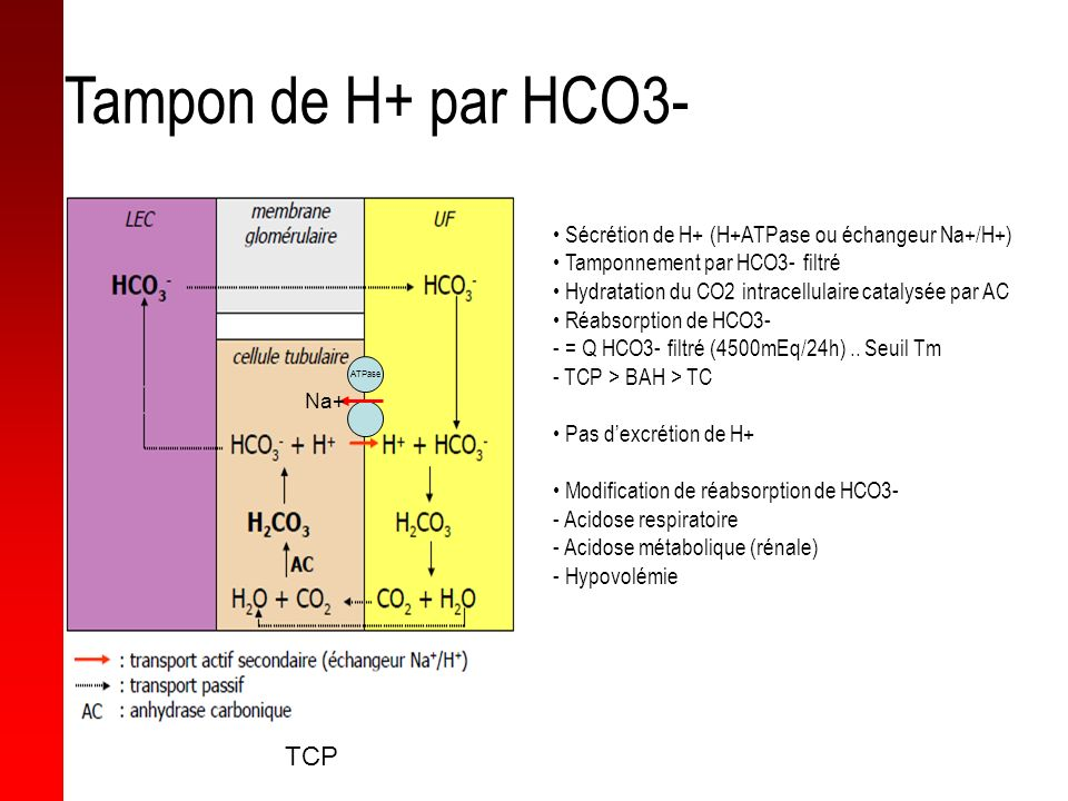 Sécrétion de H+ (H+ATPase ou échangeur Na+/H+) Tamponnement par HCO3- filtré Hydratation du CO2 intracellulaire catalysée par AC Réabsorption de HCO3-