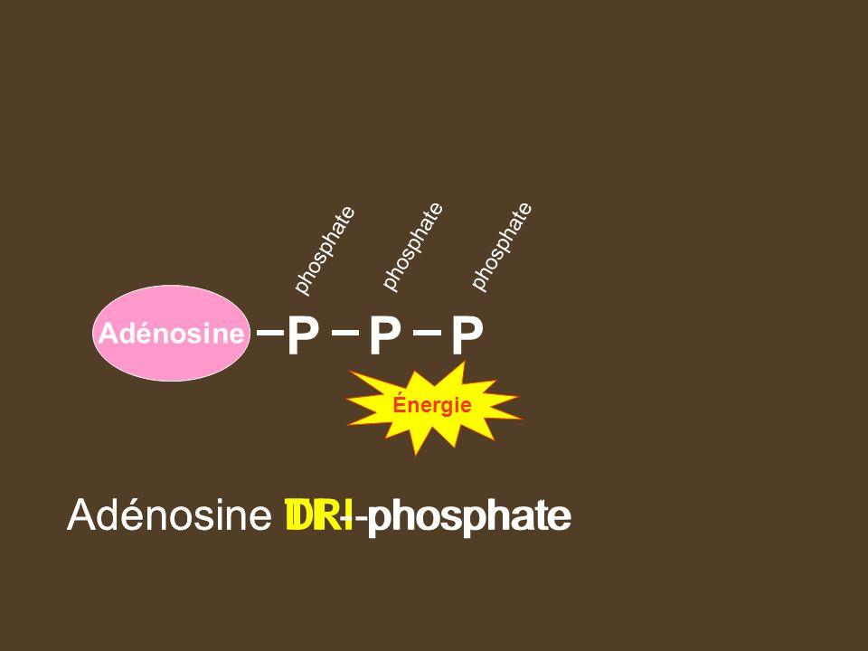 Adénosine PPP phosphate Adénosine TRI-phosphateAdénosine DI - phosphate Énergie