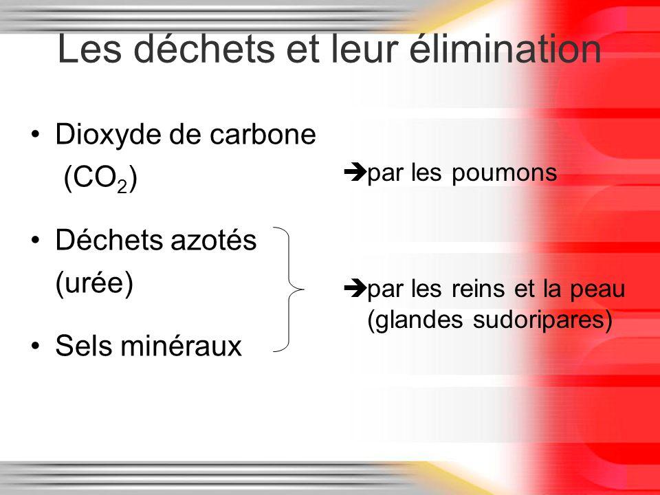 Les déchets et leur élimination Dioxyde de carbone (CO 2 ) Déchets azotés (urée) Sels minéraux par les poumons par les reins et la peau (glandes sudor