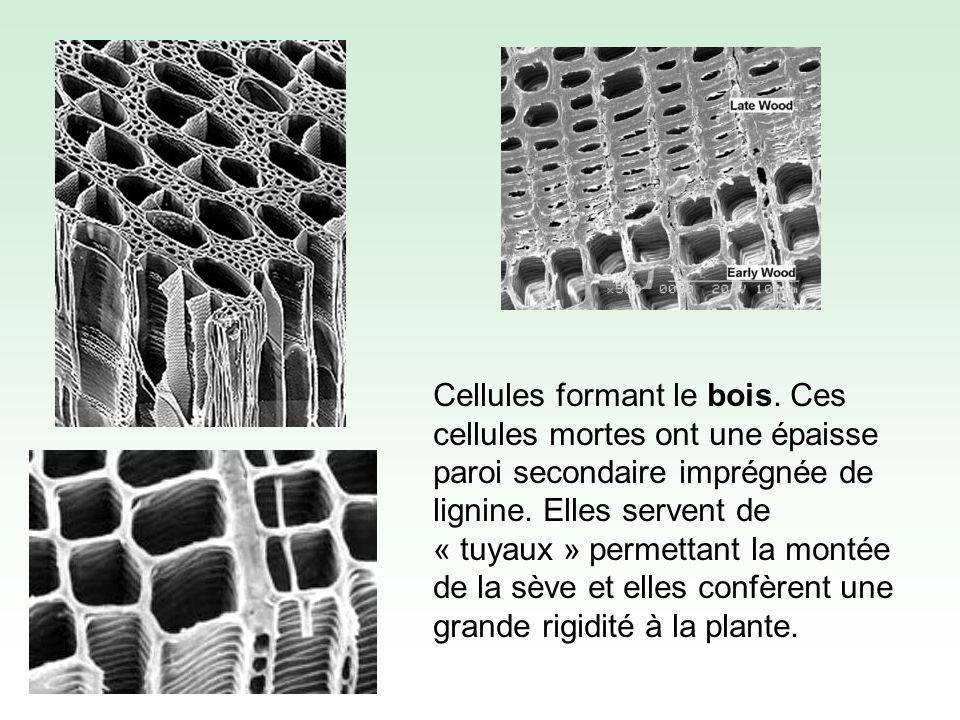 La paroi est formée dune armature de fibres de cellulose unies par différents polymères (hémicellulose, pectine, lignine) servant de « colle » = matériau composite Notez la disposition des fibres de cellulose dans la paroi secondaire.
