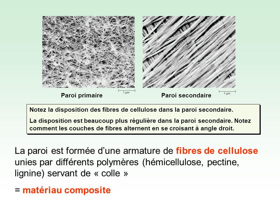 La paroi des cellules formant lépiderme des plantes (la couche de cellules à la surface de la plante) peut se couvrir (du côté exposé à lair) de cutine, une cire imperméable.